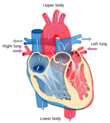 cross section of heart